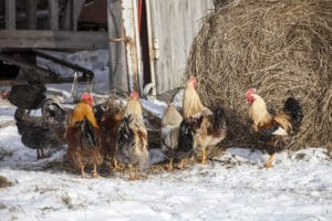 Chickens, with the notable exception of Silkies and Frizzles, are by nature much more cold hardy than they are heat tolerant.